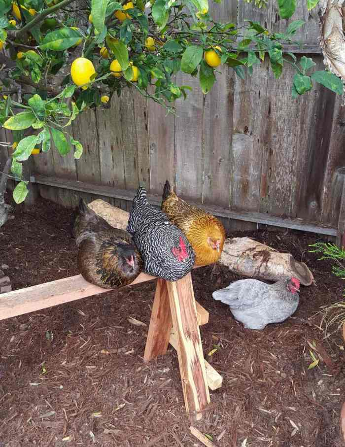 Three chickens are roosting on a wooden sawhorse while the fourth chicken sits on the ground below. The ground is covered in shredded redwood bark which makes for a great type of mulch that will add organic matter to your space with time.