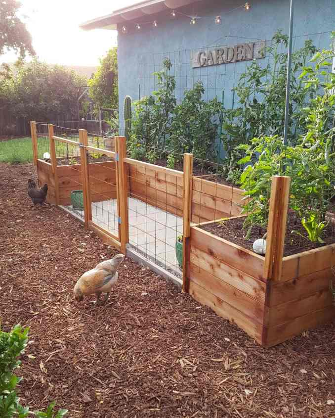 A cluster of raised garden beds in a u-shape design are shown amongst redwood bark mulch. The raised beds have a mulch layer of compost and there are tomato plants growing along the back side of the raised beds along the side of a house. There are two chickens on the outside of the raised garden area along with trees and shrubs off in the background.