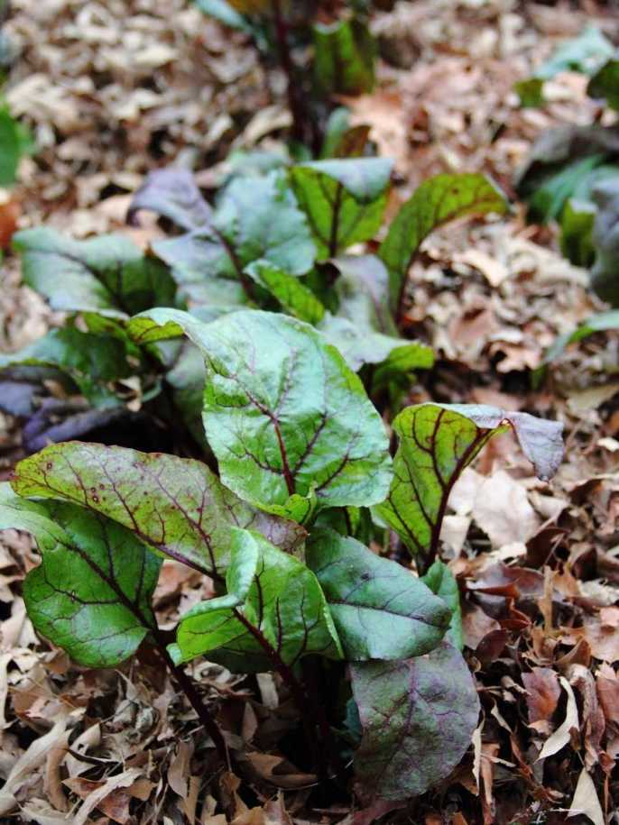 Young beet seedlings are growing amongst a mulch layer of fallen leaves.