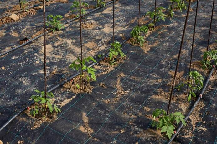 Evenly space rows of tomato seedlings with rebar as stakes are shown with geotextile fabric covering the soil surface.
