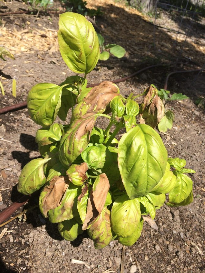 A basil plant showing signs of frost damage with brown leaves throughout the plant.