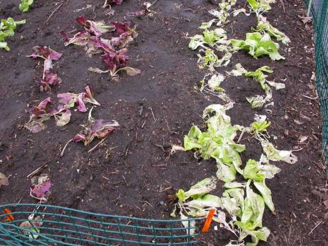 Rows of lettuce plants are toppled over, brown and wilted after damage by frost.