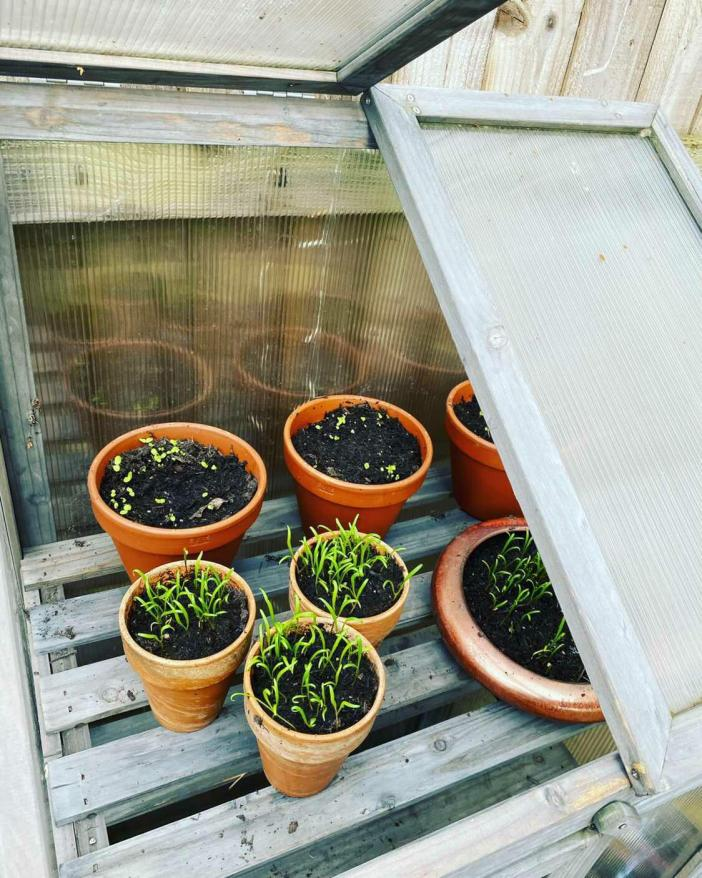 Small terra cotta pots with tender seedlings sit atop a slatted wood bench. It has been affixed with corrugated green house plastic framed to the outside of the bench to protect the plants from frost.