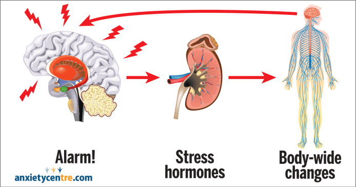 """A diagram showing a cartoon image of a brain next to an adrenal gland next to a body with blue lines throughout the insides covering the entirety of the body. There are arrows from the brain to the adrenal gland to the body with an arrow from the body back to the brain. Underneath each image there is a label, under the brain says """"Alarm!"""", under the gland says """"Stress hormones"""" and under the body says """"Body-wide changes""""."""