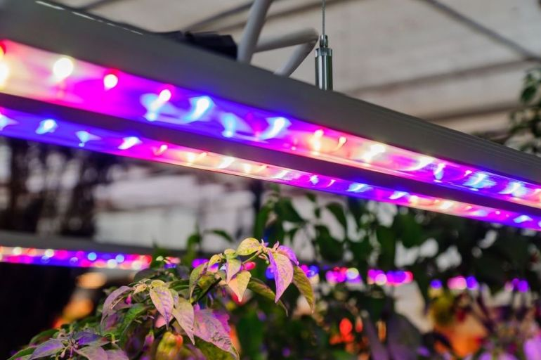 Two purple and blue LED lights are hanging above a nondescript plant. They are thin in diameter to allow natural lighting in as well as the plants and lights are inside a greenhouse.