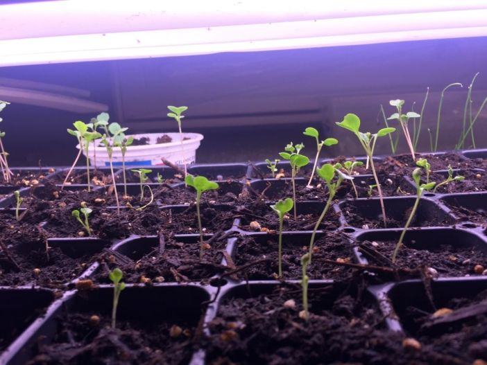 """Newly sprouted vegetable seedlings in cell packs looking """"leggy"""" underneath a brightly lit fluorescent light. Using grow lights to start healthy seedlings indoors is paramount."""