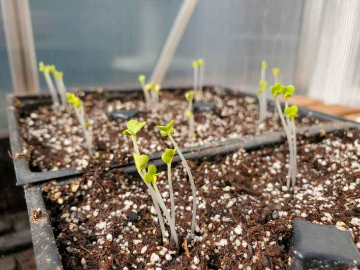 Two packs of new emerged leggy seedlings that are tall, skinny, and pale. Their first leaves are more yellow as opposed to green.