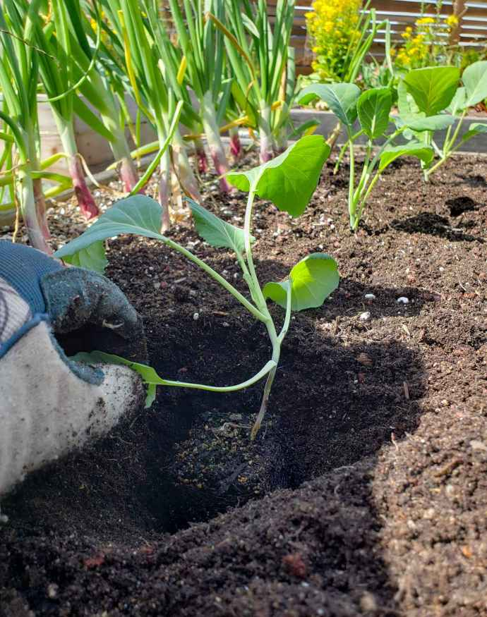 A cauliflower seedling sitting in its newly formed planting space in a raised garden bad. Its root ball is sitting an inch or two below the soil surface. Beyond lies a few other cauliflower in the same row as well as a couple rows of red onions.