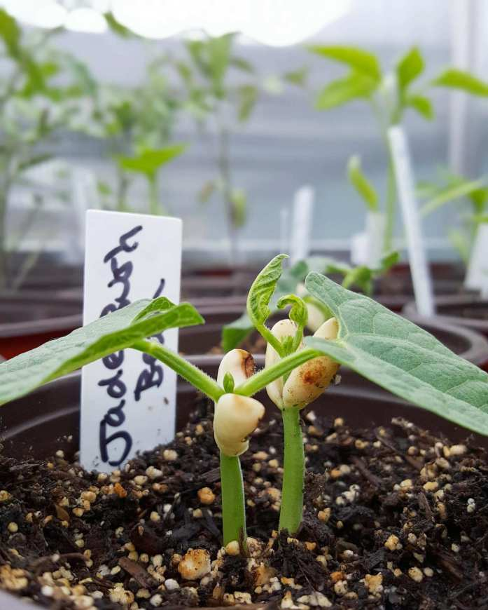 Two bean seedlings emerge from a similar part of the soil inside a seedling container. The seedlings still have the seed or bean attached to the top most portion, even though their leaves have sprouted up and out of the center.