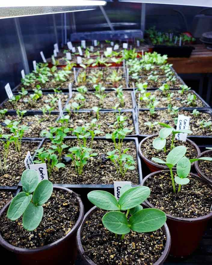 Trays of seedlings are shown below grow lights inside of a greenhouse. Seedlings of various shapes and sizes are perky and erect under the supplemental light.