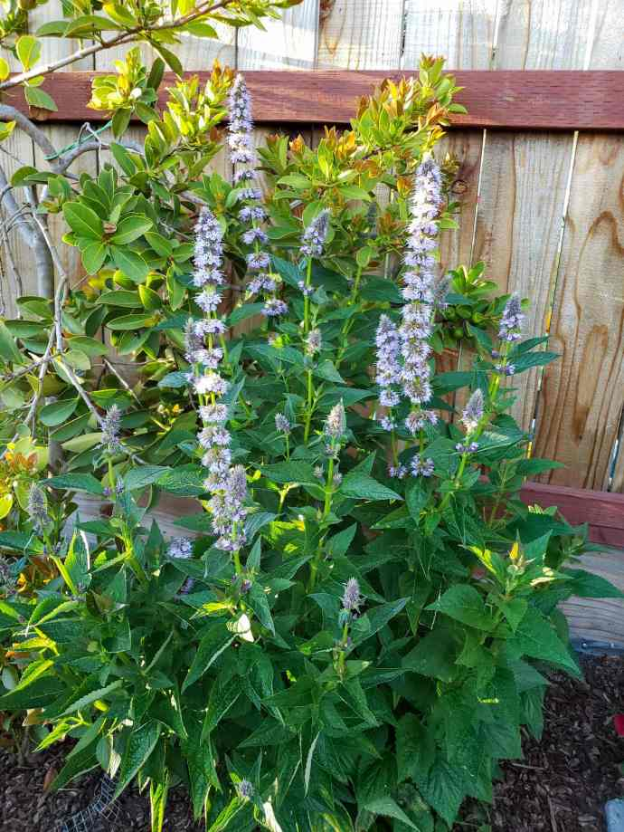 Anise hyssop, a variety of agastache is shown with its lavender blue flowering spires shooting upwards from its dark green, mint like leaved foliage. Anise hyssop is a great plant for humans while also being a flower that attracts hummingbirds.