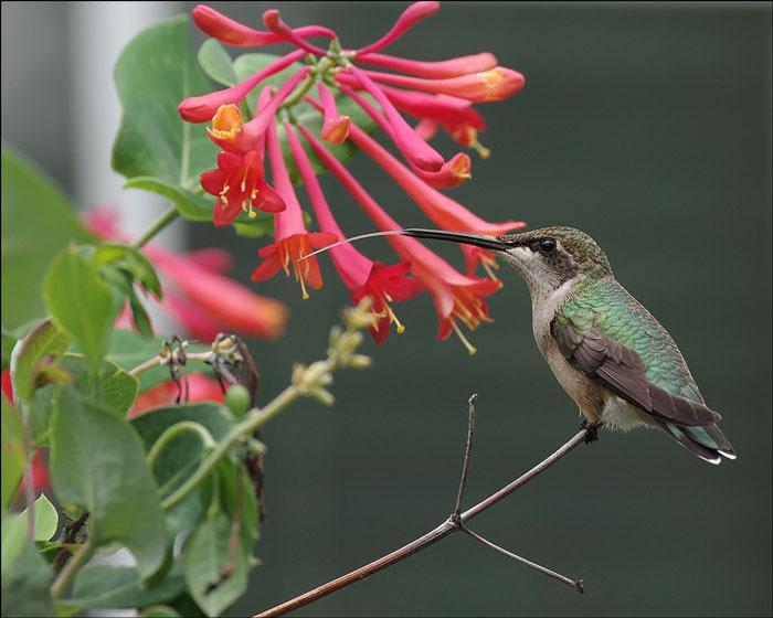 A hummingbird sits atop a vine from a trumpet honeysuckle, the birds tongue is sticking out in an arch from its beak to feed on the flowers, the visible length of the tongue is just as long as its beak. Slender pink flowers in clusters sit just in reach of the bird. Many flowers attract hummingbirds, they are industrious birds who find a way to get the nectar they need.