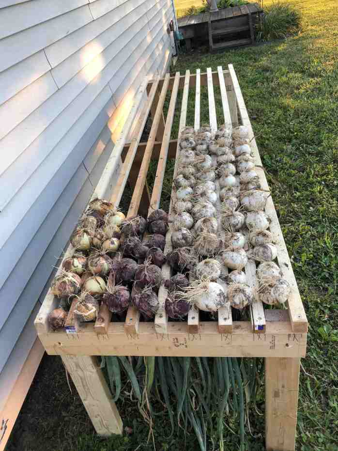 Many bulbs of onions are protruding from a slotted wooden bench or table. The onion leaves are hidden below the table as the onions are left to cure upside down, their fibrous roots and bulbs pointing upwards. Grow onions and cure them to maximize storage potential.