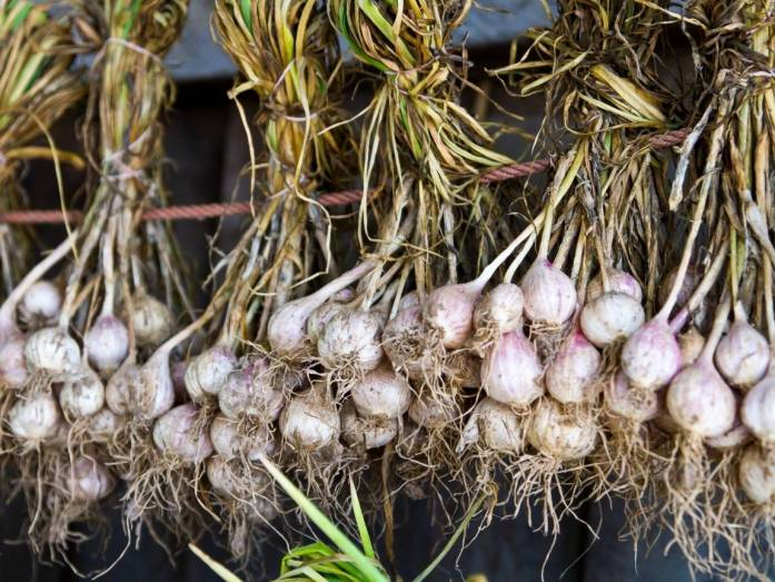 Many onions have been braided together in bunches and tied with twine around their leaves and left to hand dry on a main drying line. The onion bulbs hanging in the air for maximum circulation.