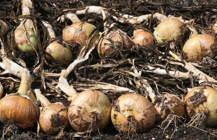 Many yellow onions lying in a field, their green leaves have withered and turned brown. Grow onions and cure them for best storage.