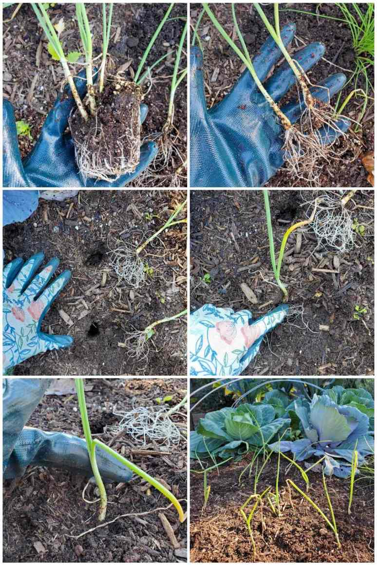 A six way image collage of DeannaCat separating onion seedlings that have been grown together as starts. She then makes holes in the garden beds and plants each onion seedling in its own hole until a few rows of onions have been planted.