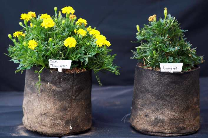 Two marigold plants are shown, each in its own fabric grow bag. The plant on the left is much larger, almost twice the size in height and width and more flowers than the one on the right.
