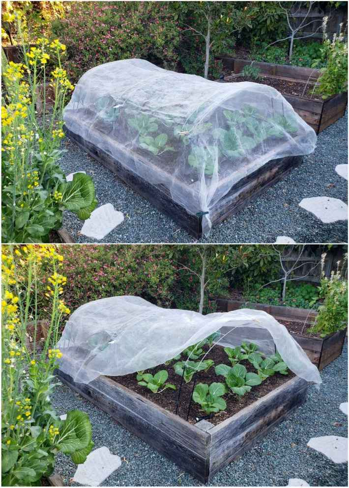 A two part image collage, the first image shows a raised garden bed with young bok choy and kale plants. The garden bed is covered using hoops and row covers to protect them from pests. The second image shows the garden bed with a portion of the row cover pulled up and over itself to reveal the plants within. When transplanting seedlings, one may need to protect them from pest before they are large enough to withstand damage.