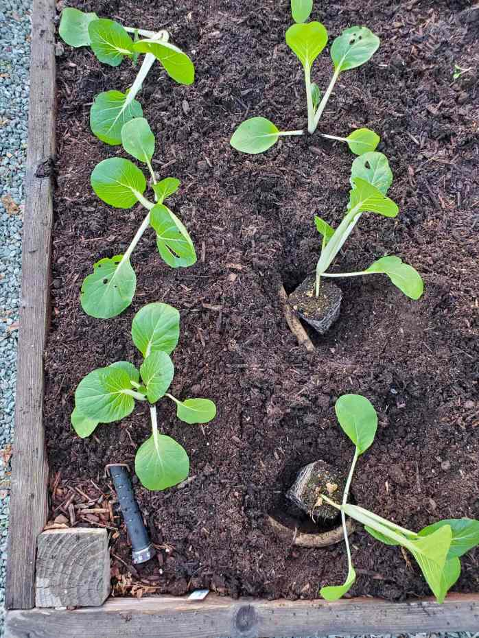 A birds eye view of two rows newly planted bok choy seedlings. A soaker hose is visible amongst the top soil as it winds around the seedlings in a snake pattern.