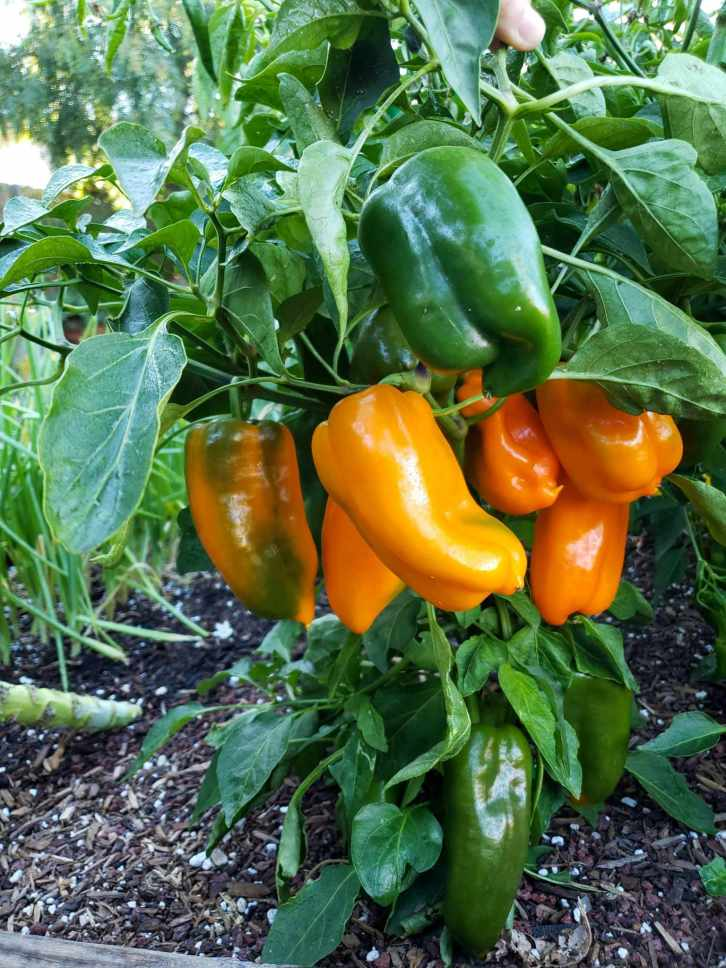 A pepper plant growing in the garden is featured. Its canopy is filled with multiple orange peppers and a few green ones. They are slightly smaller than a typical bell pepper. The foliage of the plant is dark green.