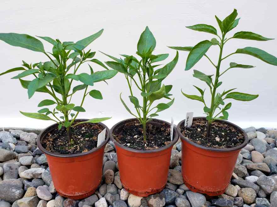 Three pepper seedlings are shown in 4 inch pots. Two of the seedlings are more bushy as they were topped a few weeks ago while the seedling on the right as left un topped and has grown taller and skinnier. All three seedlings are the shishito variety.