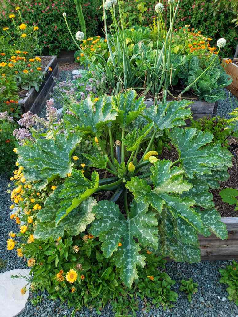 A large Dunja zucchini variety plant is featured. It's leaves are more than twice the width of a large hand. Many green fruit are growing amongst its base with a few flowers mixed in as well. Surrounding the squash are many calendula and borage with yellow and purple flowers. Beyond in other raised beds lie onions, collard greens, an array of calendula flowers, pole beans and zinnia. A wall of flowering salvia make up the background with pink flowers dotted amongst the green foliage.