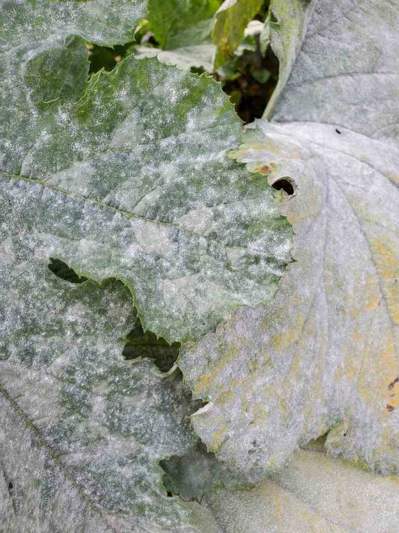 A close up image of a squash plant with a heavy infestation of powdery mildew. The leaves are caked with a  whitish silver coating that resemble spray paint.
