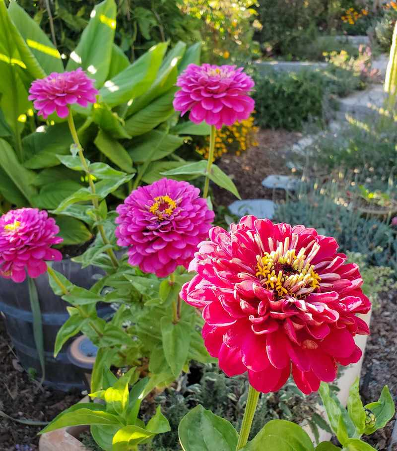 Tall and erect purple zinnia blooms stand upwards towards the sunlight. Their long blooming nature makes them great for fall flowers. Growing turmeric, African daisies, lavender, marigolds, calendula, and lavender are just a few of the plants that make up the background.