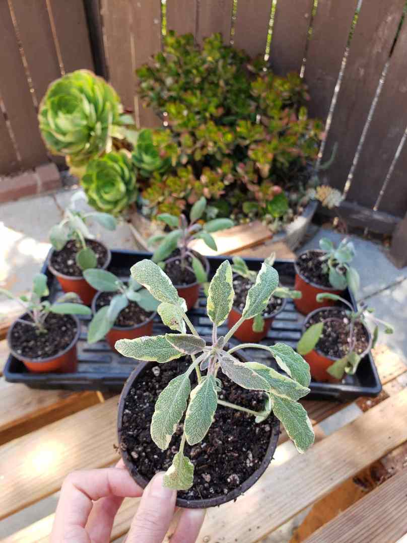 DeannaCat is holding a sage seedling   that has been planted into a 4 inch seedling container with soil. Beyond lies a seedling tray that contains 7 more cuttings that have been planted in the 4 inch pots as well.