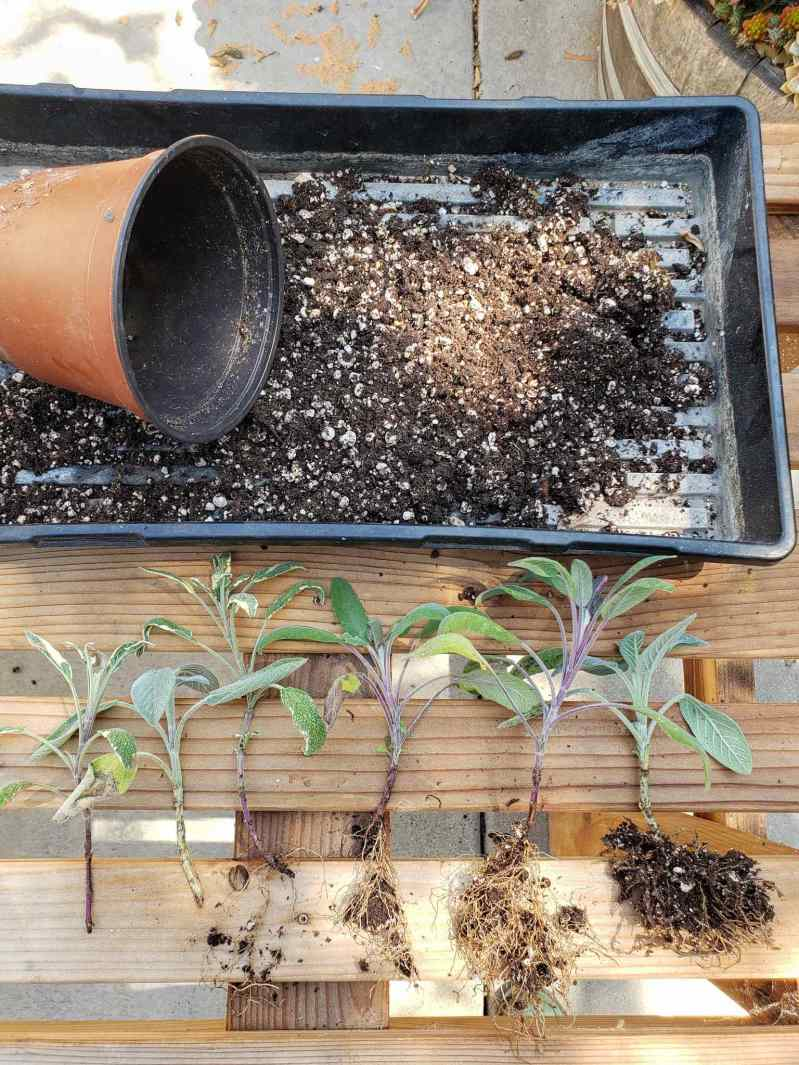Six propagated sage cuttings are laid side by side on top of a slatted wooden potting bench. The two cuttings on the left didn't take root in the soil while the four on the right did. The root balls of the sage cuttings still contain light amounts of soil as they have been separated from their main pot they were propagated in. A seedling tray with a 6 inch pot and loose soil sit just above the cuttings.
