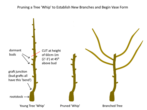 A diagram showing how to prune a young tree whip. The first image shows the whip, the second shows the whip after it was pruned, and the third image is the branched tree in a vase form after it shoots off new growth after being pruned.