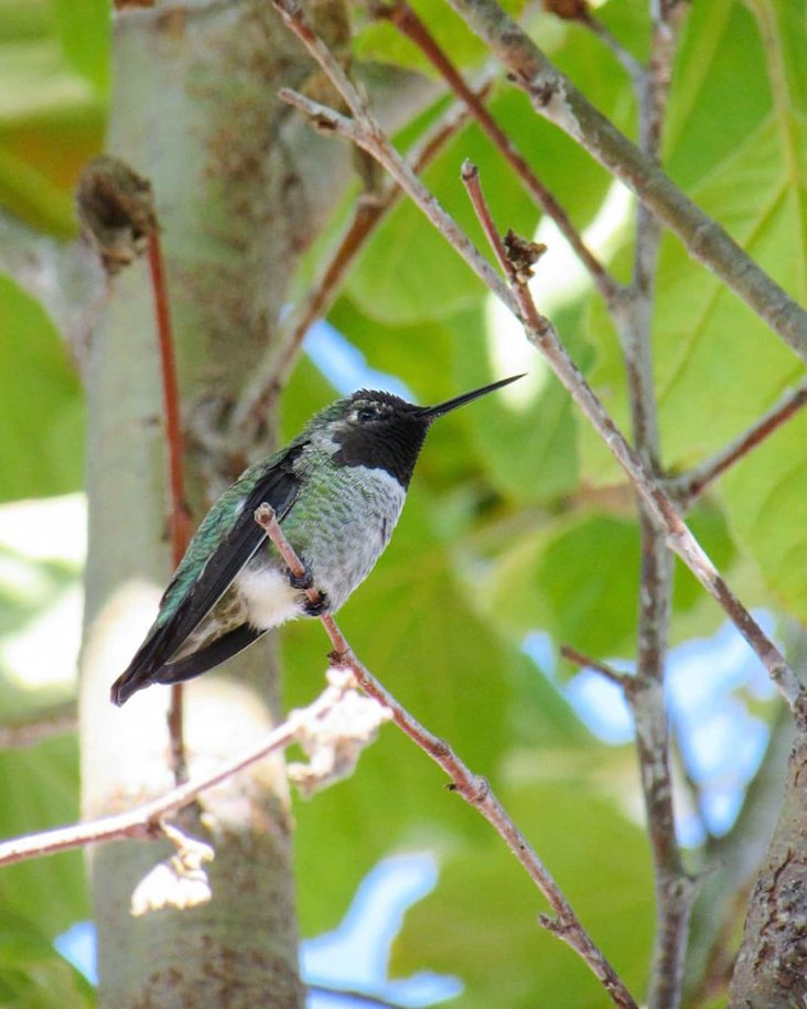 A hummingbird perched high atop a California Sycamore tree. The bird has a black beard, whitish gray to green body with green and black wings.