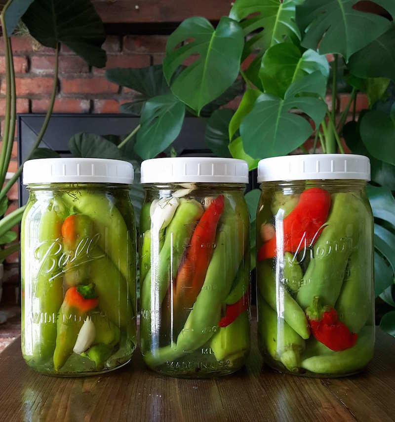 Three quart mason jars of finish pickled peppers in brine sit atop a dark barn wood table. There are various large, dark green house plants in the background.