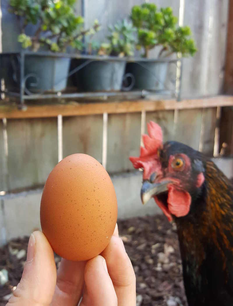 A hand is holding a dark brown egg in front of a Black Copper Marans chicken who just started laying eggs. Her comb and wattle is dark red, she has copper specks mixed into her black feathers along her neck.