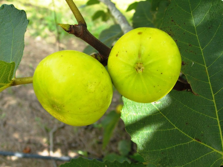 Bright yellow green figs hanging from a branch amongst a few leaves. Fig varieties such as the LSU Gold are great for southern gardeners.