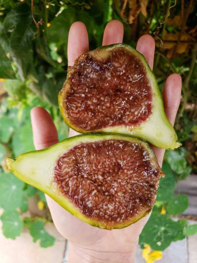DeannaCat is holding a Desert King fig in her palm that has been sliced in half lengthwise. It is taking up almost her entire hand due to its size. The inside pulp is incredibly dark amber in color, en extremely ripe fig no doubt.