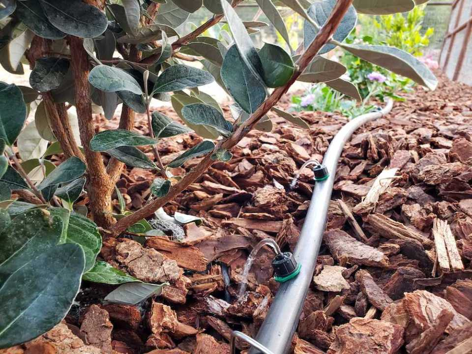 A close up of half inch black irrigation tubing running along bark mulch that is connected to drip irrigation hose bibb. Two drip emitters are dispensing water to a pineapple guava shrub.