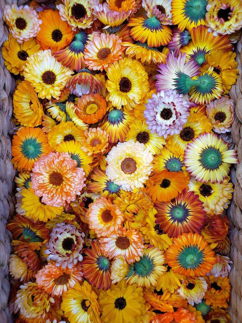 A close up image of the inside of a wicker basket which is full of freshly harvested calendula flowers. Their. colors vary from orange to yellow to pink to red and shades of colors in between. Some of the flowers are upside down, revealing their green bulb portion of the flower which carries the most beneficial resins.