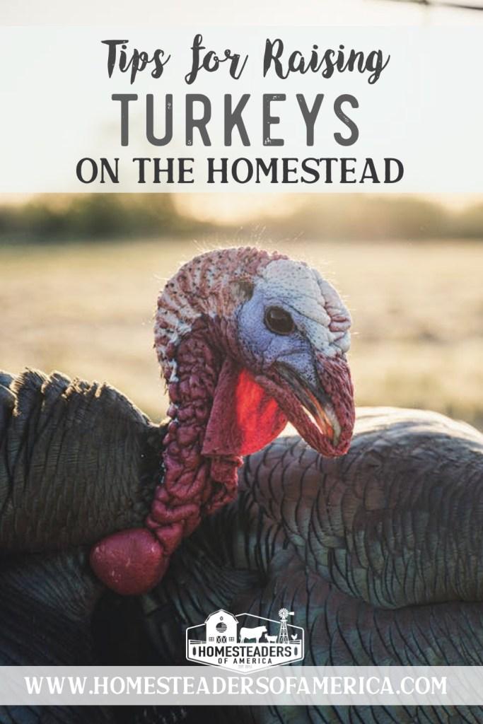 Tips for Raising Turkeys on the Homestead