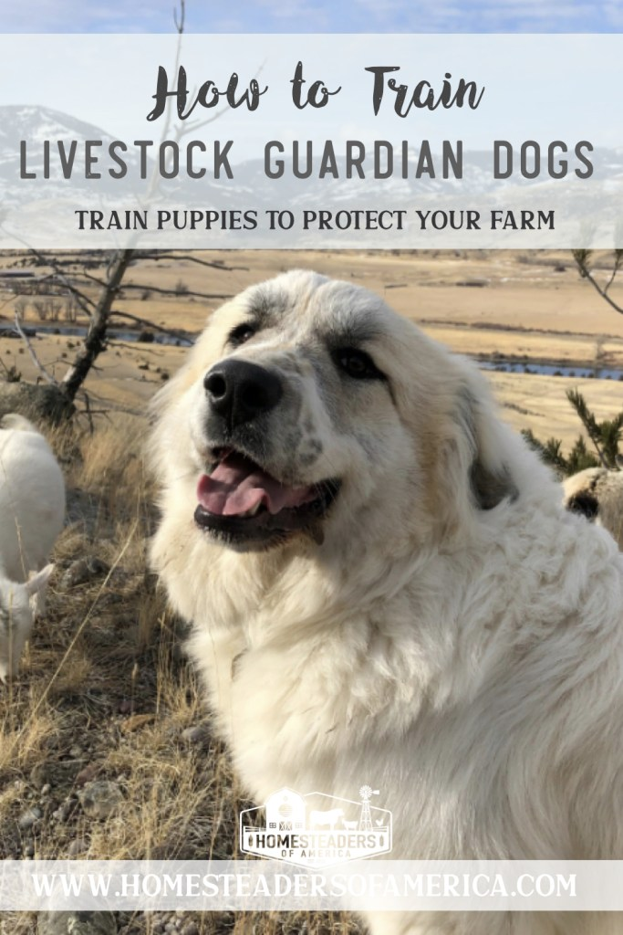 How to Train a Livestock Guardian Dog Puppy