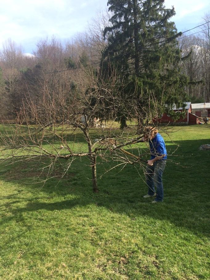 The Handyman pruning our peach tree