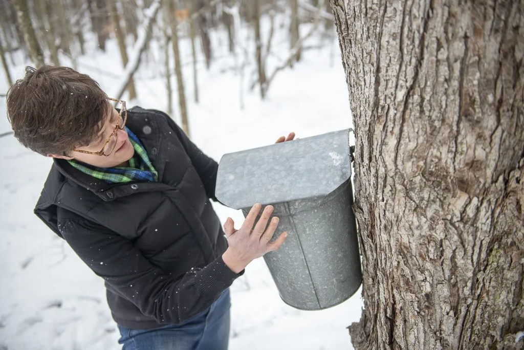hanging a sap bucket on the hook