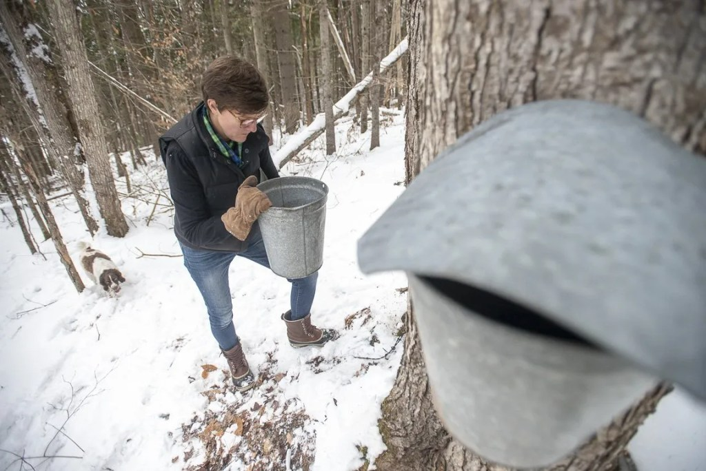 Collecting maple sap in buckets