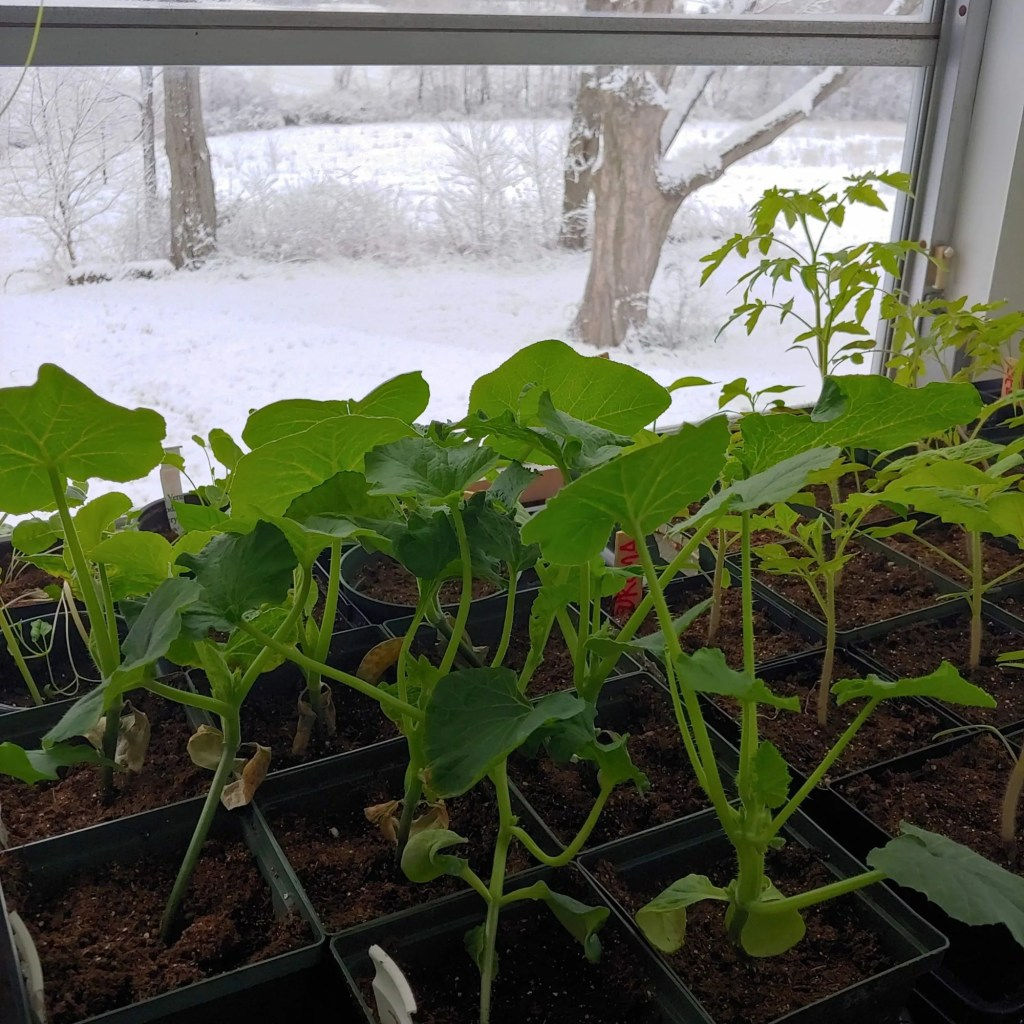 seedlings inside, snow outside