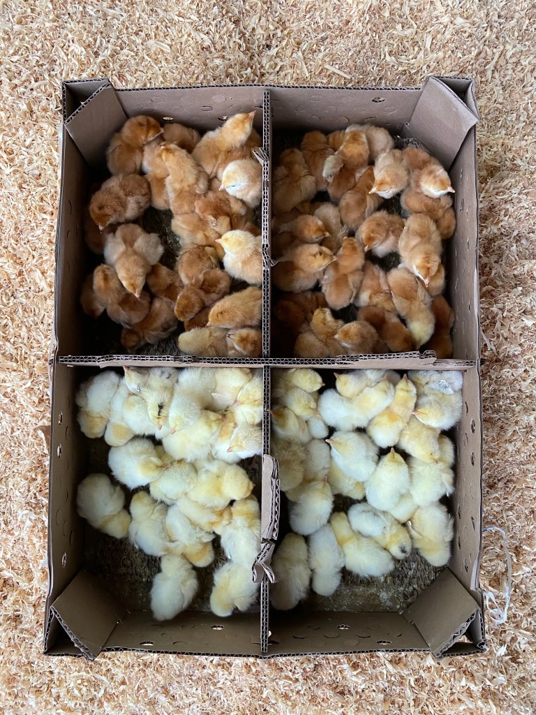 new hampshire and delaware heritage chicks