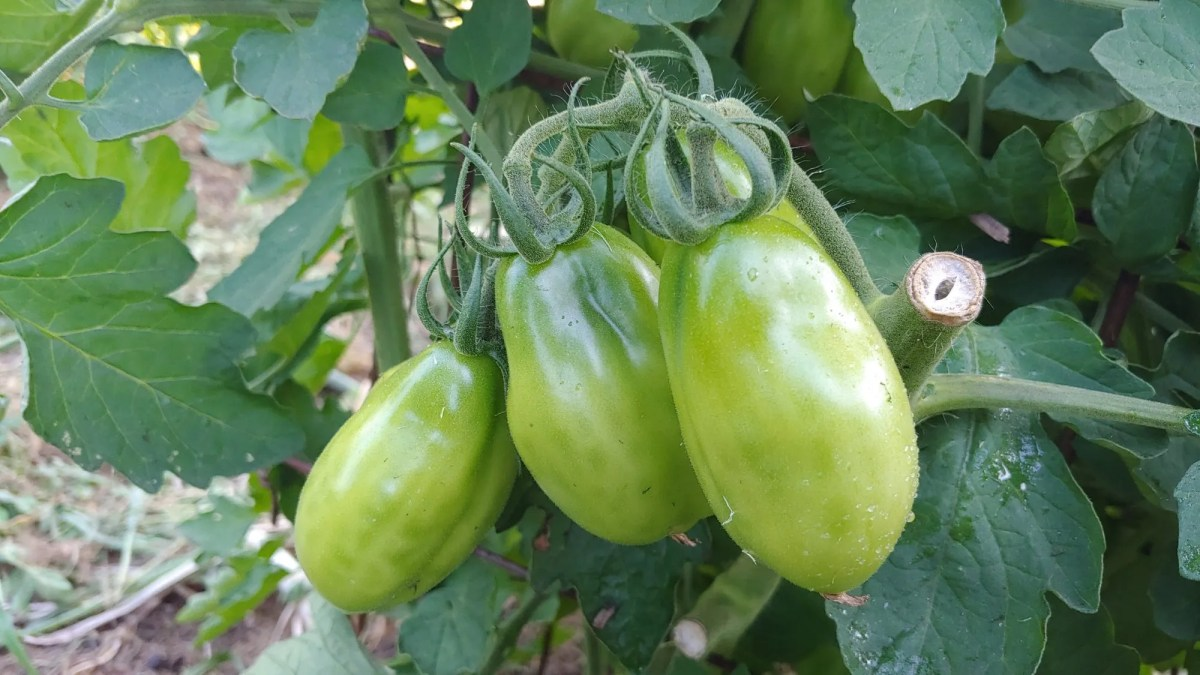 tomato plants with their tops trimmed in late season
