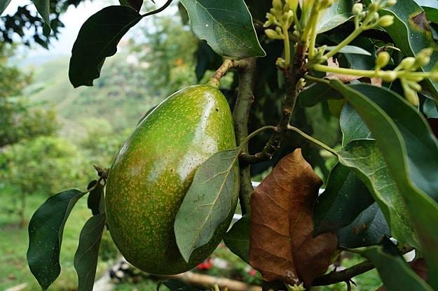 Avocado | How To Create A Bee-Friendly Garden | Organic Gardening Tips And Ideas