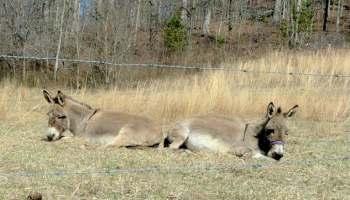 Miniature Donkeys For Your Homestead | Homesteading