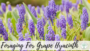 Foraging-For-Grape-Hyacinth-300x172