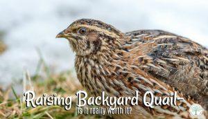 backyard-quail-post-300x172